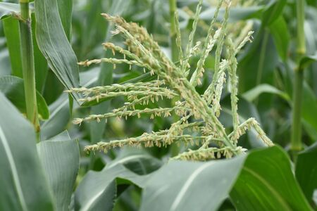 Corn (Zea mays) cultivation