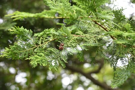 Cyprès du Japon (Hinoki Cypress)