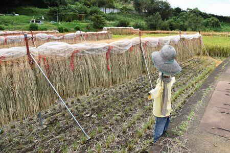 Drying rice on the rack Stock fotó