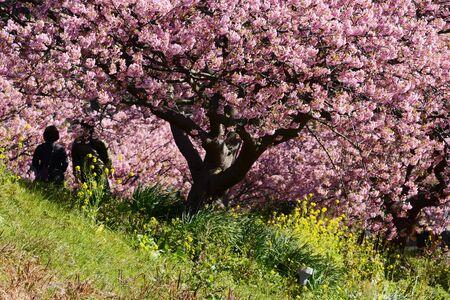 Cherry blossoms called Kawazuzakura
