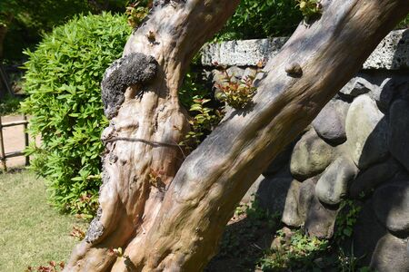 Crape myrtle trunk and bark