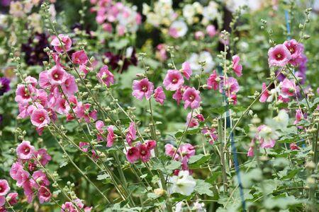 Hollyhock flowers Stock fotó
