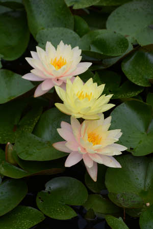 Water lily is an aquatic perennial of Nymphaeaceae.