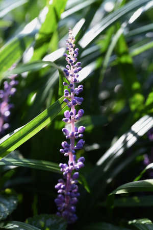 Big Blue Lily Turf / Asparagaceae Perennial Plant Imagens