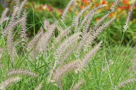The Chinese fountain grass is Poaceae perennial weed and has brush-shaped ears.