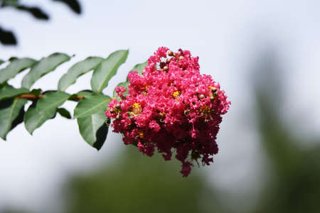 Crape myrtle flowers close-up image / Lythrasea decious tree