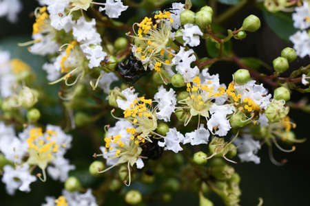 Crape myrtle flowers close-up image / Lythrasea decious tree 写真素材 - 154659924