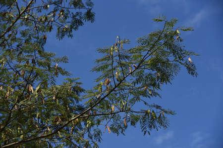 Silk tree frits / A Fabaceae decidulous tree 写真素材 - 154800972