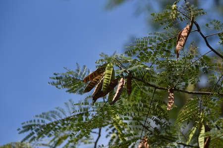 Silk tree frits / A Fabaceae decidulous tree 写真素材 - 154800927