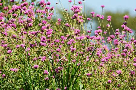 Globe amaranth flowers / Amaranthaeae annal plant 写真素材 - 154927802