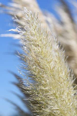 Pampas grass / A poa'e perennial plant 写真素材 - 155046411