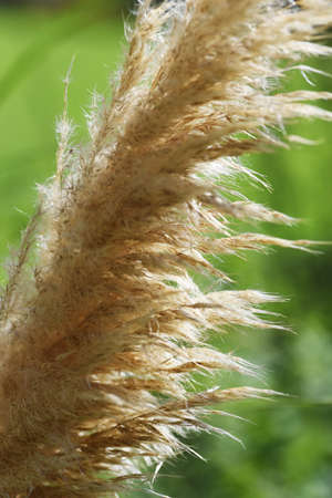 Pampas grass / A poa'e perennial plant 写真素材 - 155046455