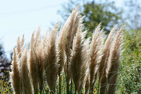 Pampas grass / A poa'e perennial plant 写真素材 - 155046458