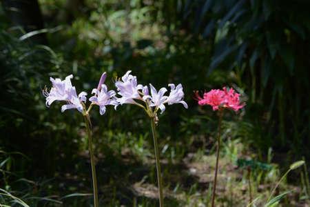 Lycoris (Hurricane Lily) / Amaryllidaceae Perennial Bulbous Plant 写真素材 - 155046492