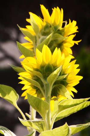 Season Background in Summer / Sunflower 写真素材 - 155269834