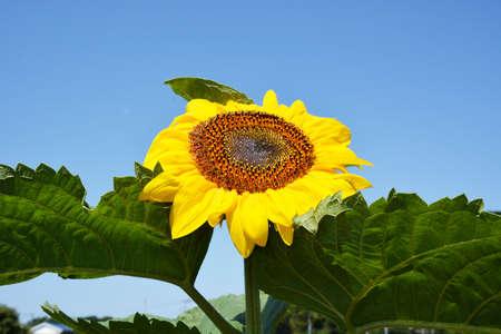 Season Background in Summer / Sunflower 写真素材 - 155269992