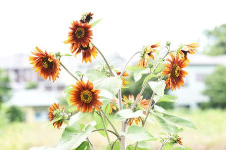 Season Background in Summer / Sunflower 写真素材 - 155270220