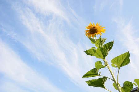 Season Background in Summer / Sunflower 写真素材 - 155270142