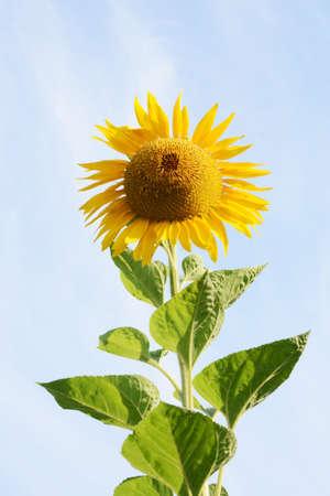 Season Background in Summer / Sunflower 写真素材 - 155269889