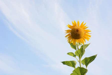 Season Background in Summer / Sunflower 写真素材 - 155269453