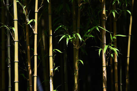 Natural Background Material / Bamboo Forest Archivio Fotografico