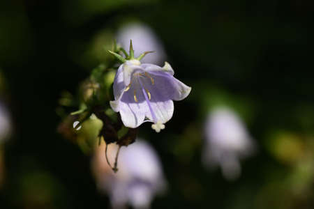 Japanese lady bell (Adenophora triphyla) / Campanulaceae plant