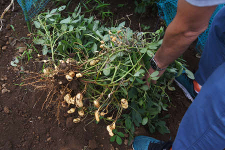 Peanut Culture / Agriculture stock photos