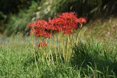 Red Spider Lily / Amaryllidaceae Perennial Toxic Bulbous Plant
