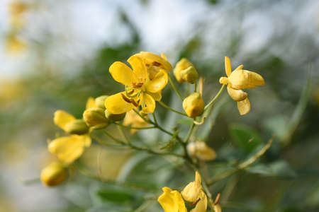 Senna colymba (Butercup bus) flowers / Fabaceae evergreen tree 写真素材