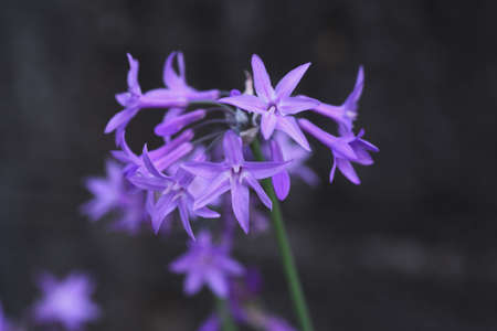 Tulbaghia Violacea (Society Garlic) Flowers / Liliaceae Perennial Bulbous Plant 写真素材