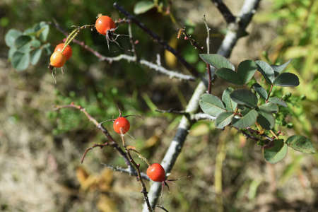Rose hips / Rose hip rich in Vitamin C.