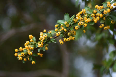 Narrowleaf firethorn (Pyracantha angustifolia) / Rosaeae evergreen tree. 写真素材