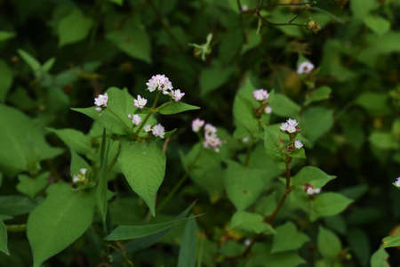 Polygonum thunbergii flowers / Polygonace annal grass