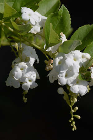 Duranta repens 'Alba' / Verbenace evergreen shruba.