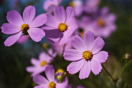 Autumn Seasonal Background / Cosmos Flowers 写真素材