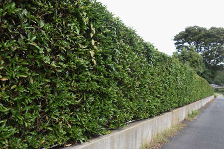 A hedge made of Sweet viburnum. Stock Photo