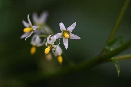 Black nightshade (Solarum nigrum) flowers / Solanacae annal grass.
