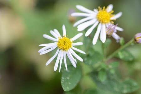 Close-up image of the autumn flower Wild chrysanthemum.