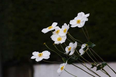 Japanese aneone flowers /Ranunculeae perennial grass