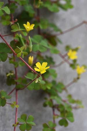 Oxalis corniculata flowers / Oxaledae perennial grass