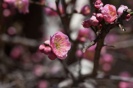 In Japan, Japanese apricot blossoms are in full bloom in February.