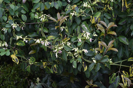 Japanese staunton vine Stauntonia hexaphilla flowers and fruits. Ladizabalaceae evergreen vine.