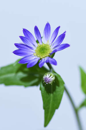 Gymnaster savatieri blooms elegant purple flowers from spring to early summer. Asteraceae plant.