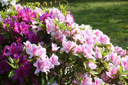 Azalea flowers. Azalea is widely distributed mainly in Asia and is a national flower in Nepal.