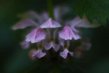 Dead -nettle is a perennial of Lamiaceae and grows in the half-shade of the field. Reklamní fotografie