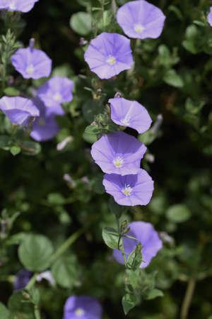 Convolvulus sabatius flowers. Convolvulaceae evergreen perennial plant.