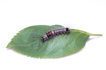 hairy legs: Caterpillar bug