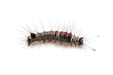 Caterpillar bug