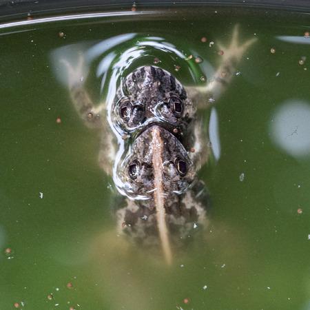 Frog mating