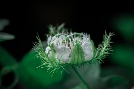 Passiflora foetida Wet rain Banque d'images